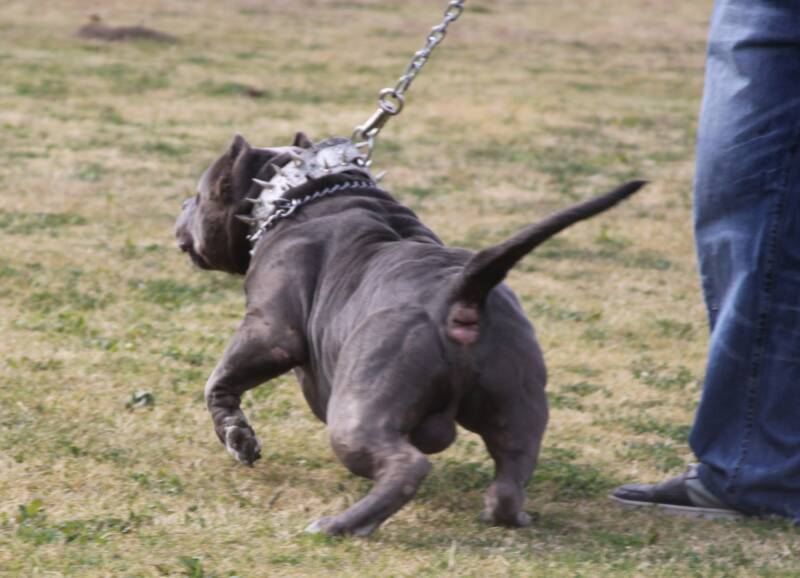 XXL Blue Pitbulls Biggest Pitbull Puppies Kennel
