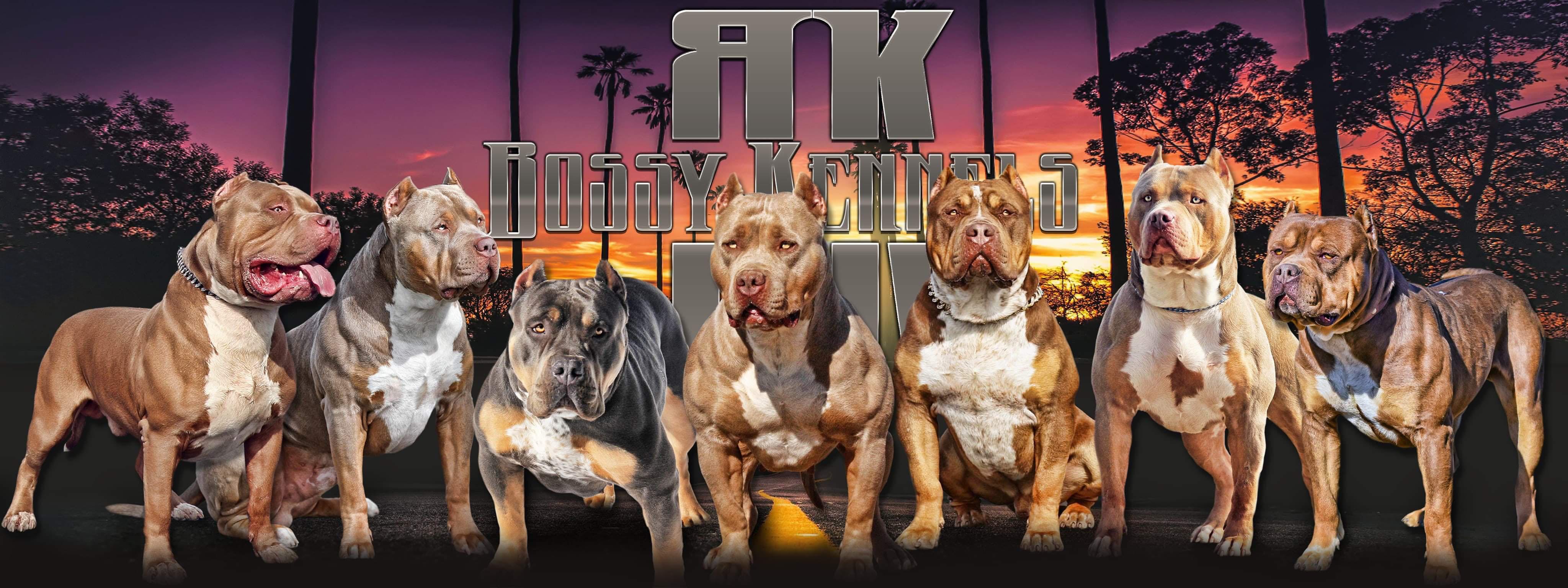 Xxl Blue Pitbulls Biggest Pitbull Puppies Kennel