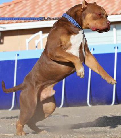 pitbull dog white