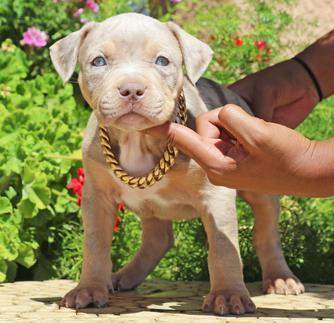 blue nose pitbull kaufen